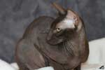 [Peterbald chocolat femelle, Etna des Touch Too Much]