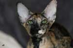 [Peterbald black tortie, Etna des Touch Too Much]